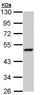 Western blot - Anti-LAMP3 antibody (ab153932)