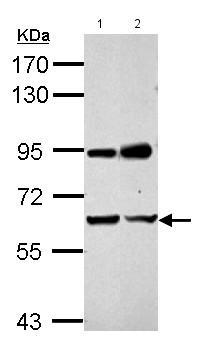 Western blot - Anti-IOP2 antibody (ab153936)
