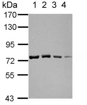 Western blot - Anti-GTPBP4/NOG1 antibody (ab153977)