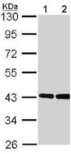 Western blot - Anti-GNAO1 antibody (ab154001)