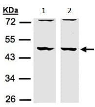 Western blot - Anti-HIP55 antibody - N-terminal (ab154016)