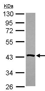 Western blot - Anti-Phosphoserine Aminotransferase antibody (ab154055)