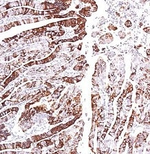 Immunohistochemistry (Formalin/PFA-fixed paraffin-embedded sections) - Anti-G-protein coupled receptor 30 antibody - C-terminal (ab154069)