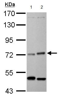 Western blot - Anti-Heme-regulated inhibitor antibody (ab154076)