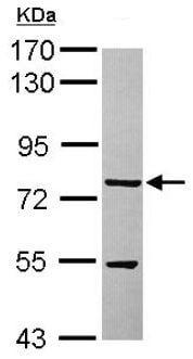 Western blot - Anti-TTLL12 antibody (ab154086)