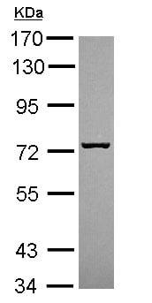Western blot - Anti-Sly1 antibody (ab154096)