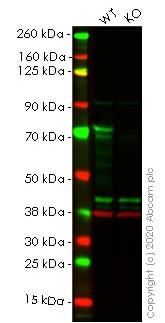 Western blot - Anti-TLS/FUS antibody [CL0190] (ab154141)
