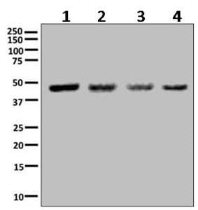 Western blot - Anti-ILF2/NF45 antibody [EPR10694(B)] (ab154169)