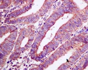 Immunohistochemistry (Formalin/PFA-fixed paraffin-embedded sections) - Anti-AMPS antibody [EPR10747(B)] (ab154182)