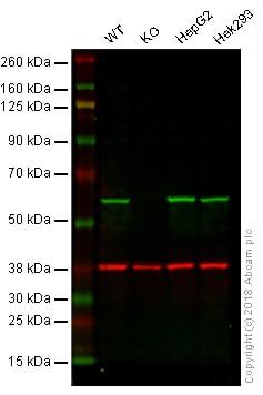 Western blot - Anti-ERp57 antibody [EPR10678(B)] (ab154191)