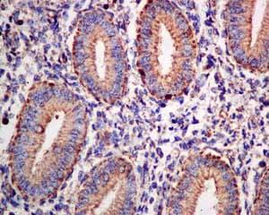Immunohistochemistry (Formalin/PFA-fixed paraffin-embedded sections) - Anti-OLFM2 antibody [EPR10605(B)] (ab154196)
