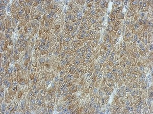 Immunohistochemistry (Formalin/PFA-fixed paraffin-embedded sections) - Anti-Calcium Pump PMCA3 ATPase antibody (ab154213)