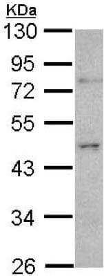 Western blot - Anti-ORC4L antibody - C-terminal (ab154235)