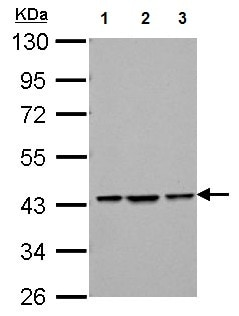 Western blot - Anti-Bif-1 antibody (ab154236)