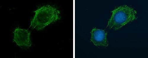 Immunocytochemistry/ Immunofluorescence - Anti-NADPH oxidase 4 antibody (ab154244)