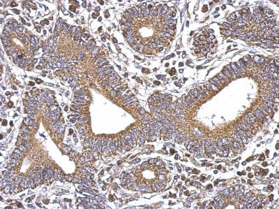 Immunohistochemistry (Formalin/PFA-fixed paraffin-embedded sections) - Anti-SERCA3 ATPase antibody - N-terminal (ab154259)
