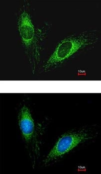 Immunocytochemistry/ Immunofluorescence - Anti-Serpin A5 antibody (ab154275)