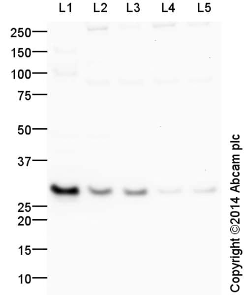 Western blot - Anti-Neurogenin 2/NGN2 antibody (ab154293)