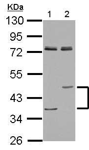 Western blot - Anti-Lysosomal acid lipase/LAL antibody (ab154356)