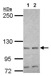 Western blot - Anti-HSPA4 antibody (ab154389)