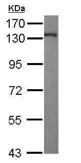 Western blot - Anti-KIF5A antibody (ab154414)