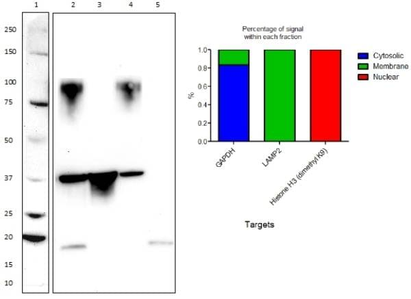 Western Blot analysis of HeLa cell fractions using ab154472
