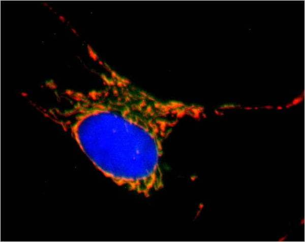 Immunocytochemistry/ Immunofluorescence - Anti-SDHA antibody [2E3GC12FB2AE2] (Alexa Fluor® 488) (ab154473)