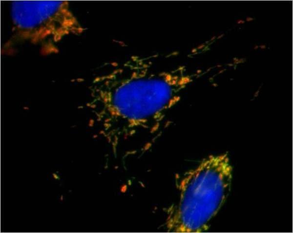 Immunocytochemistry/ Immunofluorescence - Anti-MTCO1 antibody [1D6E1A8] (Alexa Fluor® 488) (ab154477)