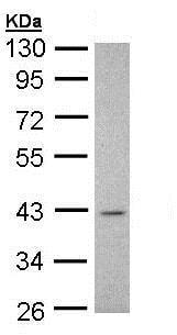 Western blot - Anti-Musashi 1 / Msi1 antibody (ab154497)