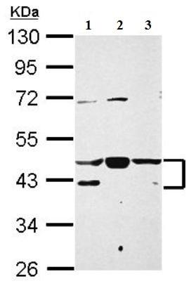 Western blot - Anti-NFYA antibody (ab154554)
