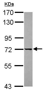 Western blot - Anti-HAGE antibody (ab154634)