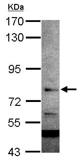 Western blot - Anti-INTS9 antibody (ab154660)