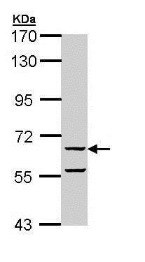 Western blot - Anti-FAM20C antibody (ab154740)