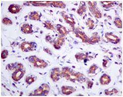 Immunohistochemistry (Formalin/PFA-fixed paraffin-embedded sections) - Anti-Rho guanine exchange factor 16/NBR antibody [EPR9950] (ab154785)