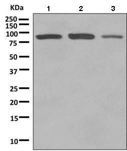 Western blot - Anti-Rho guanine exchange factor 16/NBR antibody [EPR9950] (ab154785)
