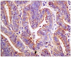 Immunohistochemistry (Formalin/PFA-fixed paraffin-embedded sections) - Anti-FOXO3A (phospho S253) antibody [EPR1951(2)] (ab154786)