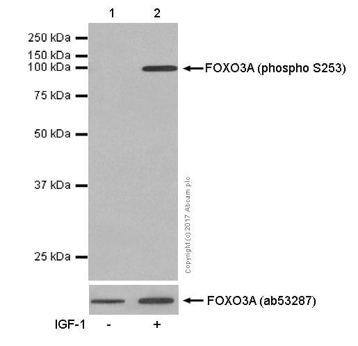 Western blot - Anti-FOXO3A (phospho S253) antibody [EPR1951(2)] (ab154786)
