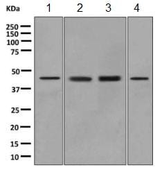 Western blot - Anti-ILF2/NF45 antibody [EPR10695(B)] (ab154791)