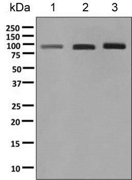 Western blot - Anti-COG4 antibody [EPR10111] (ab154795)