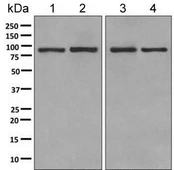 Western blot - Anti-LEPRE1/P3H1 antibody [EPR10193(B)] (ab154799)