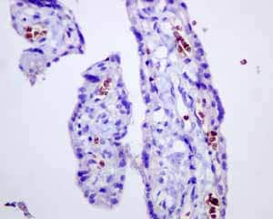 Immunohistochemistry (Formalin/PFA-fixed paraffin-embedded sections) - Anti-alpha 1 Spectrin antibody [EPR9299] (ab154811)
