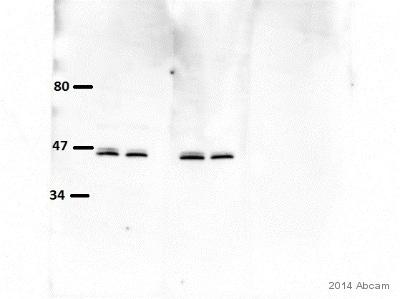 Western blot - Anti-UGPase antibody [EPR10627(B)] (ab154817)