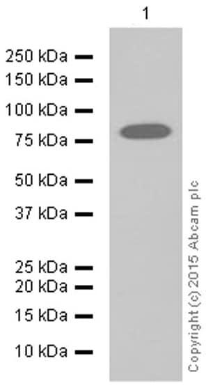 Western blot - Anti-TRIM56 antibody [EPR10582] (ab154821)