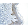 Immunohistochemistry (Formalin/PFA-fixed paraffin-embedded sections) - Anti-GLYR1 antibody [EPR10076(B)] (ab154838)
