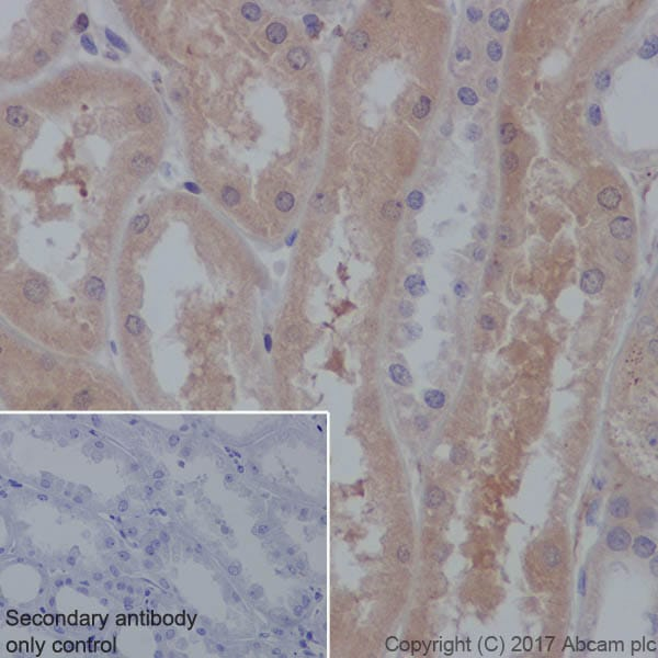 Immunohistochemistry (Formalin/PFA-fixed paraffin-embedded sections) - Anti-GUCY1B3 antibody [EPR8822] (ab154841)