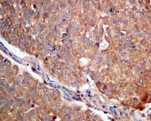 Immunohistochemistry (Formalin/PFA-fixed paraffin-embedded sections) - Anti-Quinone oxidoreductase antibody [EPR10843(B)] (ab154842)