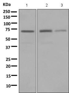 Western blot - Anti-LNK antibody [EPR7342] (ab154848)