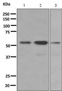 Western blot - Anti-PTBP2 antibody [EPR9891] (ab154853)