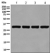 Western印迹-抗VDAC1/Prin抗体[EPR10852(B)] -线粒体负载控制(AB1548 56)