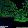 Immunohistochemistry (Frozen sections) - Anti-VDAC1/Porin antibody [EPR10852(B)] - Mitochondrial Loading Control (ab154856)
